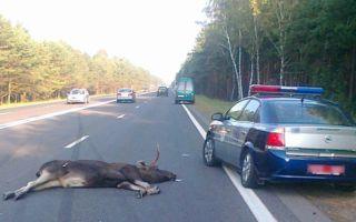 Наезд на животное, дтп: наказание за домашнее животное, ответственность за аварию с дикими